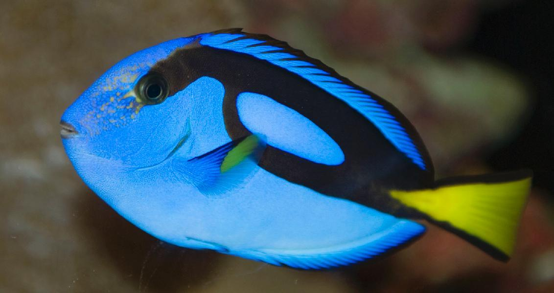 Album animal fish pic 4 of 10 for Blue tang fish facts